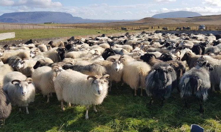 Sheep from Lake Mývatn. Photo by Ragnhildur Sigurðardóttir