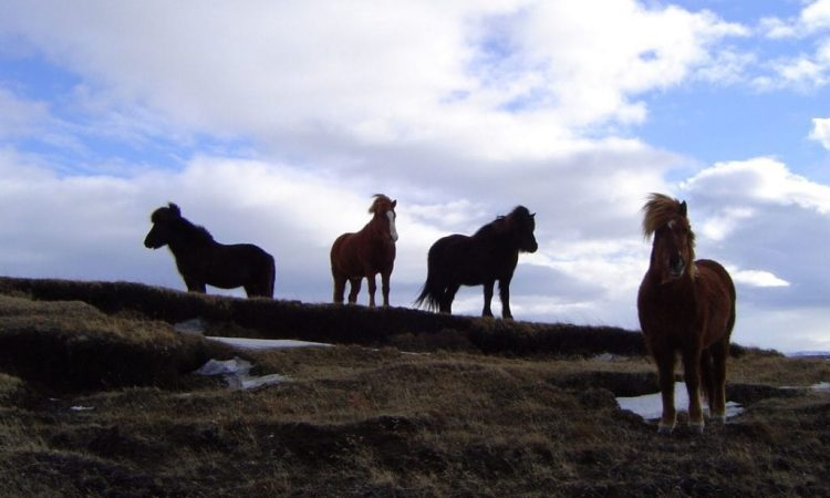 Horses in Svartárkot. Photo by Magnús Skarphéðinsson