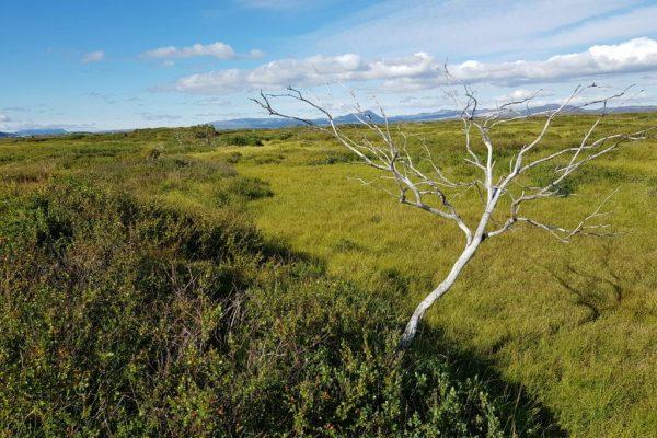Dead tree in Framengjar. Photo by Viðar Hreinsson